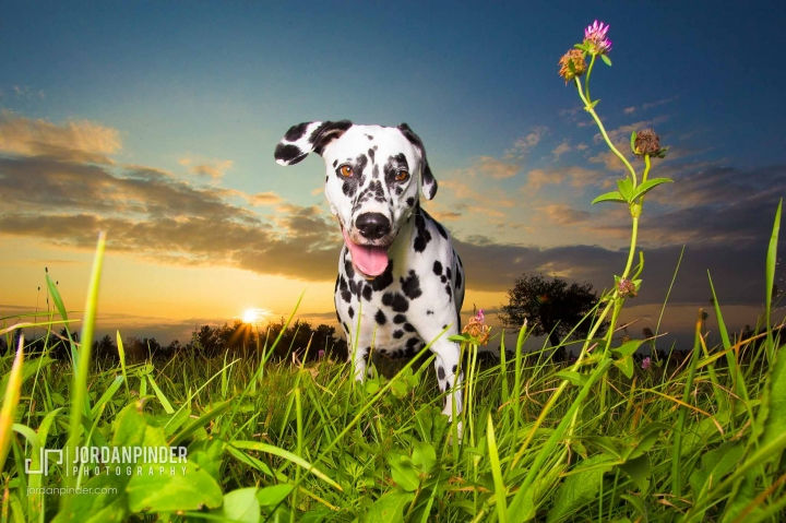 dalmatian standing in grassy field at sunset