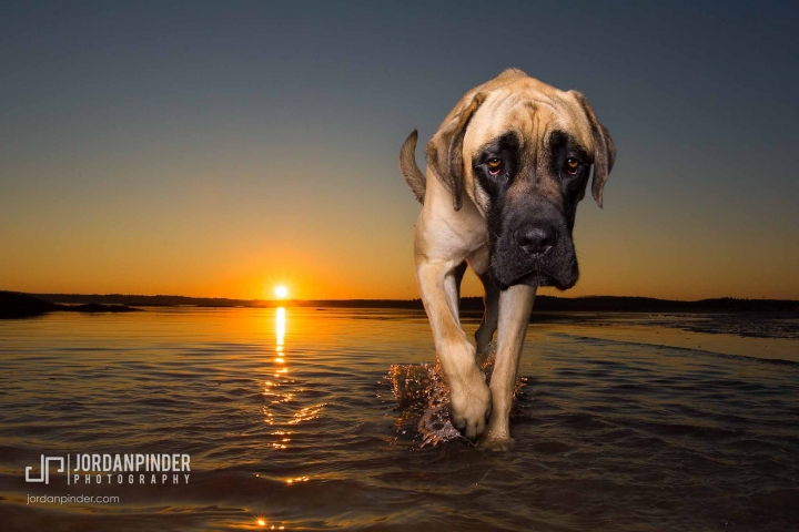 great dane walking on beach at sunset