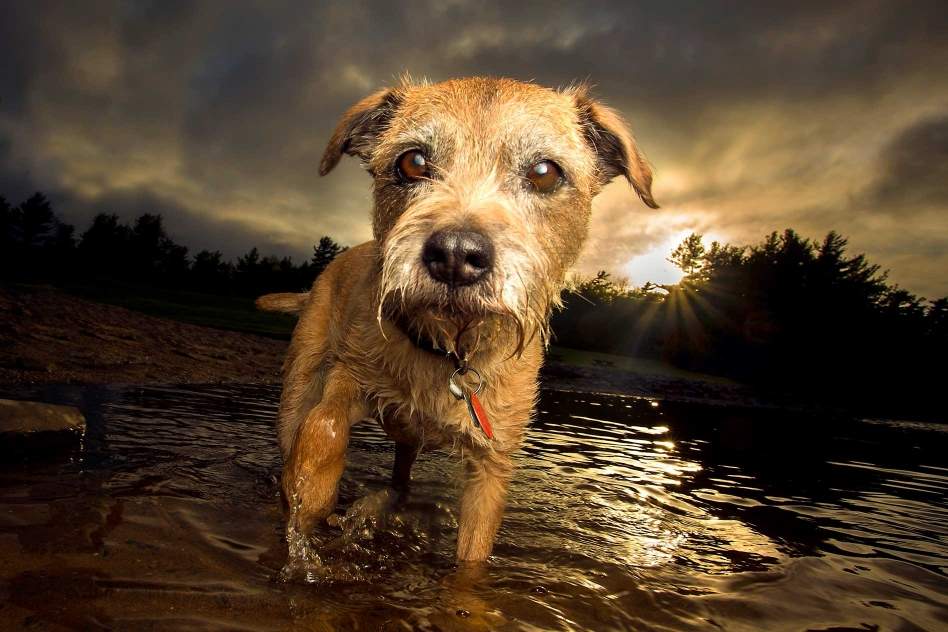 border terrier walking in lake