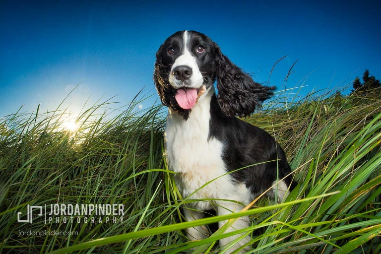 spring spaniel sitting in long grass at Crescent Beach