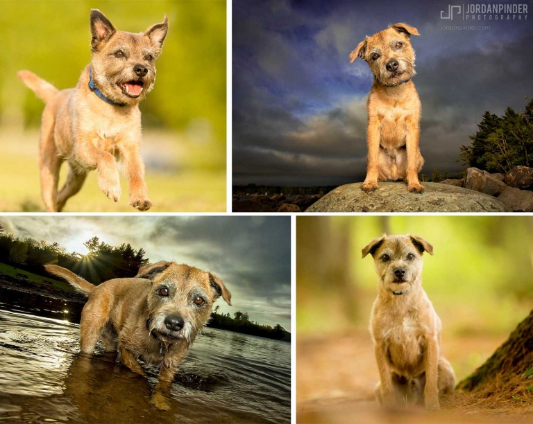 border terrier posing for dog photography session in Halifax
