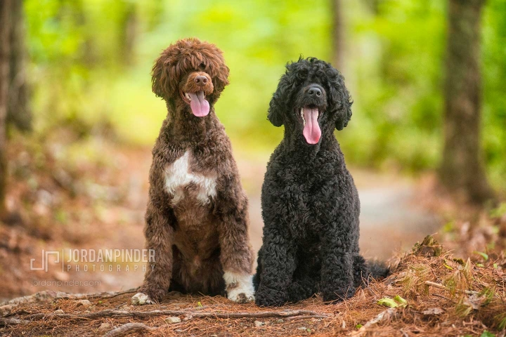 two portuguese water dogs sitting in woods