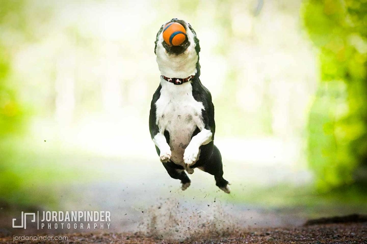 boston terrier jumping for ball at Oakfield Provincial Park
