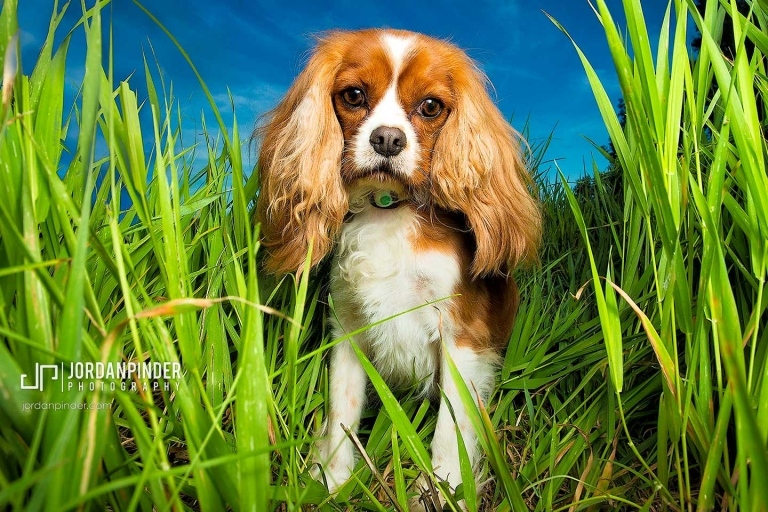 cavalier king charles spaniel standing in grass at Oakfield Provincial Park